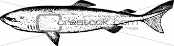 Fish somnious microcephalus