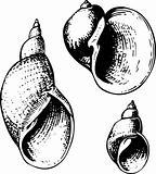 Seashells lymnaeidae