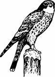 Bird cerchneis tinnunculus