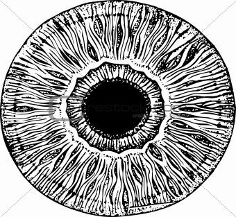 Apple of human eye