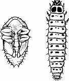 Larva and worm meligethes aeneus