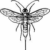 Wasp siricidae