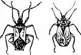 Bugs coreidae