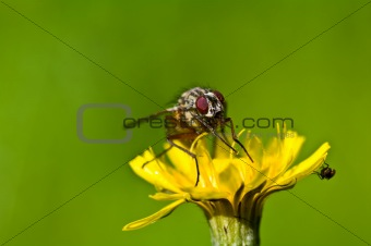One big fly and one small fly on a yellow flower
