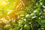 Detail of green oranges in orchard