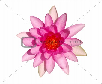 Top view of bright pink water lily flower