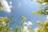 Yellow rape flowers and sky