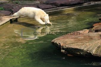 Polar bear looks into the mirror