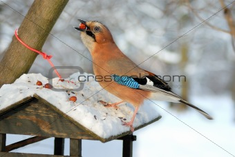 Jay (garrulus glandarius) stealing nuts from a bird feeder.