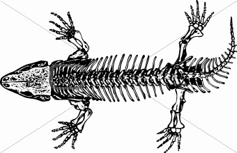 Skeleton of seymouria