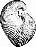 Seashell conchidium
