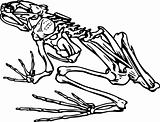 Skeleton of a frog