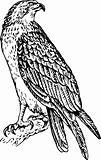 Bird pandion haliaetus