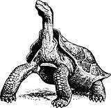 Giant turtle geochelone elephantopus