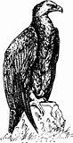 Bird aquila nipalensis
