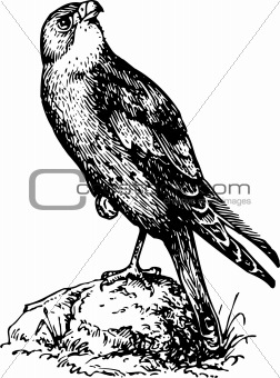 Bird cerchneis naumanni
