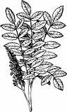 Rhus (Staghorn Sumac)