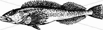 Fish hexagrammidae