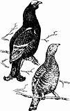 Birds lyrurus