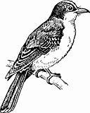 Bird tyrannidae
