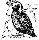 Bird lunda cirrhata
