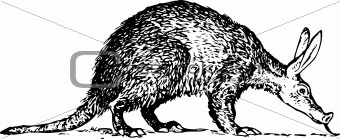 Aardvark (Orycteropus)