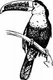Bird rhamphastidae