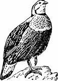 Bird tetraogallus