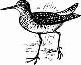 Bird tringa