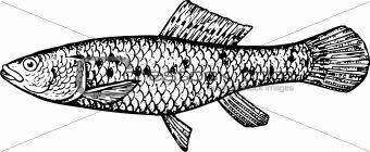 Fish ubmra krameri