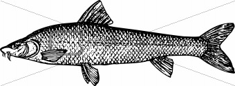 Fish barbus