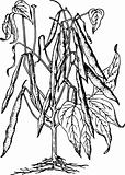 Bean (Phaseolus)