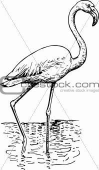 Flamingo phoenicopteri