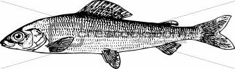 Fish thymallidae