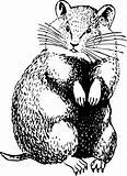 Cricetinae (hamster)