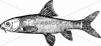 Fish varicorhinus