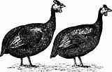 Birds numididae