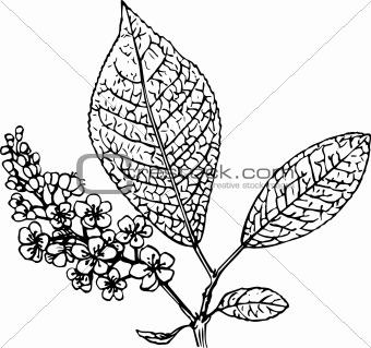 Padus (bird cherry)