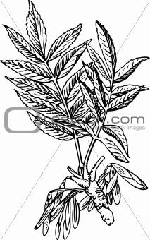 Fraxinus (Ash tree)