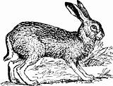 Jackrabbit