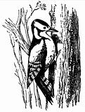 Woodpecker (Dryobates major)