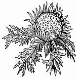 Stemless carline (Carlina acaulis)