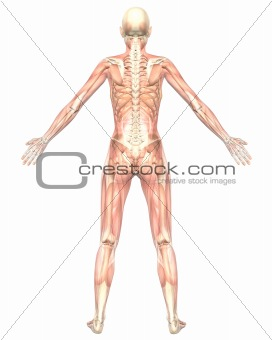 Female Muscular Anatomy Semi Transparent Rear View