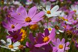 Magenta and white flowerage