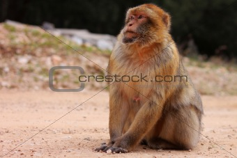 Courious macaque