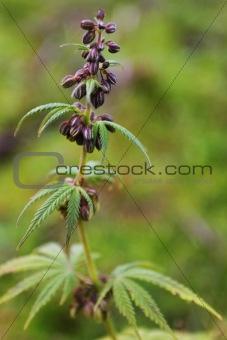 Cannabis, marihuana plant
