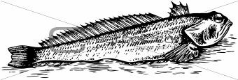 Fish Trachinus