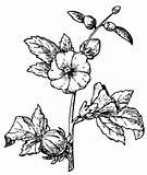 Reselle, Red Sorre (Hibiscus sabdariffa)