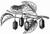 Plant Actinidia