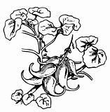 Plant Devil's Claw